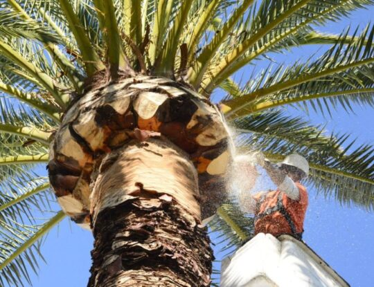Palm Tree Trimming and Removal-Shreveport Tree Trimming and Stump Grinding Services-We Offer Tree Trimming Services, Tree Removal, Tree Pruning, Tree Cutting, Residential and Commercial Tree Trimming Services, Storm Damage, Emergency Tree Removal, Land Clearing, Tree Companies, Tree Care Service, Stump Grinding, and we're the Best Tree Trimming Company Near You Guaranteed!