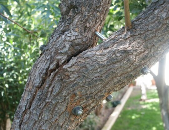 Tree Bracing and Cabling-Shreveport Tree Trimming and Stump Grinding Services-We Offer Tree Trimming Services, Tree Removal, Tree Pruning, Tree Cutting, Residential and Commercial Tree Trimming Services, Storm Damage, Emergency Tree Removal, Land Clearing, Tree Companies, Tree Care Service, Stump Grinding, and we're the Best Tree Trimming Company Near You Guaranteed!